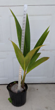 Sprouted Coconut Tree 25-36 Inches
