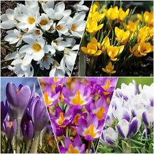 100 CROCUS BULBS Mixed Specie Early Spring Flowering Garden Plants In The Green
