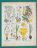 FLOWERS Botany Barberrry Daffodil Snowflake Flax Sundews - 1845 H/C COLOR Print