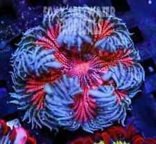Strawberry Delight Pink Ultra Rock Flower Anemone