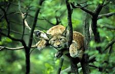 Ansichtskarte: Keep cool - Luchs im Baum - sehr schöne Aufnahme!