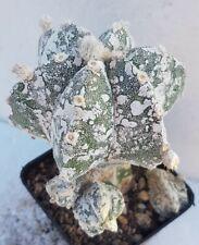 Astrophytum myriostigma hakuun
