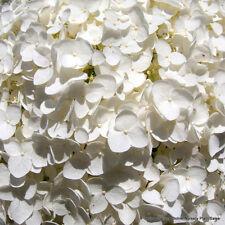 50 NATIVE HYDRANGEA Arboescens Smooth Wild Sevenbark Flower Bush Shrub Seeds