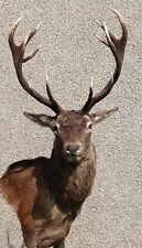 Red deer stag Head taxidermy mount ,arts crafts, albahighlandtaxidermy product