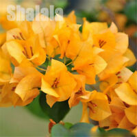 100pcs/Bag Yellow Bougainvillea Seeds Perennial Flower Spectabilis Willd Seeds