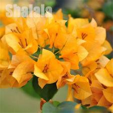 100pcs/Bag Yellow Bougainvillea Seeds Perennial Flower Spectabilis Willd Seeds