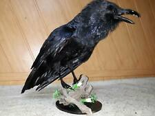 Stuffed Black Raven Taxidermy