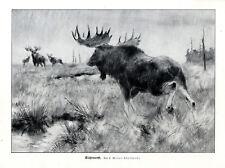 C.Meyer-Eberhardt Elchbrunft Jagdliche Grafik /Druck um 1927