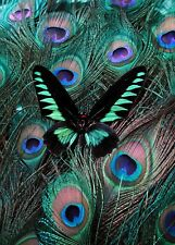 SUPERB BUTTERFLY PEACOCK FEATHERS CANVAS #2 WALL HANGING HOME DECOR WALL ART