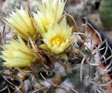 Turbinicarpus flaviflorus,seeds 10 pcs