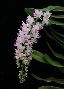 Orchid Aerides Korat Koki x Rhynchostlis coelestis Blue. Mounted