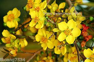 25 FRESH SEEDS Ochna Serrulata Mickey Mouse Plants Yellow Flowers Bonsai RARE
