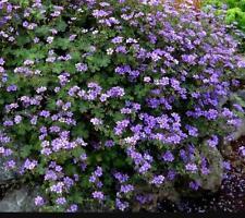 Geranium Deciduous Perennial Flowers & Plants