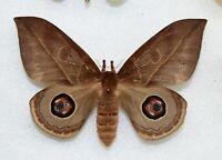 SATURNIIDAE - silkmoth - Augenspinner - AUTOMERIS SSP  -  female