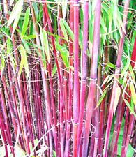 Roter Bambus ´Chinese Wonder´ der Blickfang im Garten - Winterhart- 20 Samen