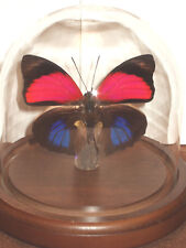 Agrias claudina lugens Butterfly Dome