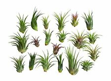 20 pc Air Plant Ionantha Tillandsias / Wholesale Tillandsias / Bulk Air Plants