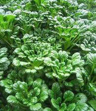 RARE✿ Heirloom Asian Greens Rosette Bok Choy TATSOI 50+ Seeds ● NON-GMO