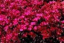 Flower - Sedum Spurium - Coccineum - 200 Seeds