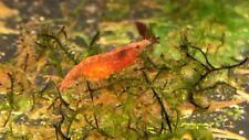 New listing 8+2 Red Cherry Shrimp Aquatic Dwarf Moss Algae Eater Clean Up Crew