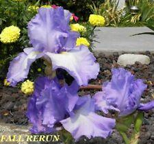 "2 ""Fall Rerun"" Beauatiful Blue Reblooming Tall Bearded Iris Rhizome"