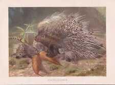 Istrice con giovani animali hystrix cristata litografia del 1890