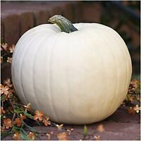 10 pc Lumina White Pumpkin Seeds Fresh Home Garden Fruit Seed Halloween Decor