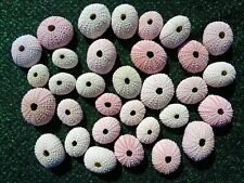 10 WHITE TO PALE PINK SEA URCHINS 3 - 5 CM CRAFT SHELLS DISPLAY