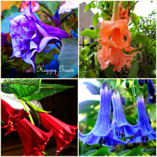 ANGEL'S TRUMPETS MIX - 8 SEEDS - Datura brugmansia - Tropical woody shrub