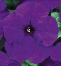 Petunia Seeds 50 Seeds Pelleted Seeds Dreams Midnight