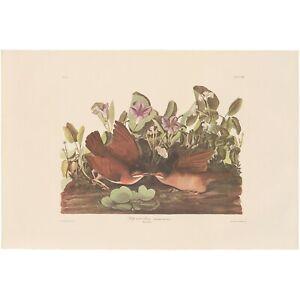 Audubon Amsterdam Ed. Double Elephant Folio 1971 lithograph Pl 167 Key-west Dove