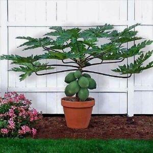 300 ps/bag Dwarf hovey Papaya seeds bonsai Organic fruit seeds tree seeds rare