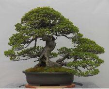 RARE Japanese Black Pine Bonsai Tree Seeds, Bonsai Pine Tree Seeds, UK Stock