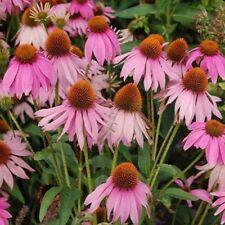 Echinacea - Purpurea Purple - 300 Seeds