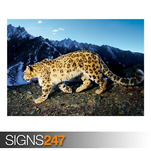 PROWLING SNOW LEOPARD (3433) Animal Poster - Photo Poster Print Art * All Sizes