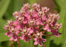 Swamp Milkweed Seeds - ROSEY PINK - Asclepias - Wildflower - CANADA - 25 Seeds