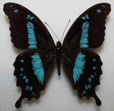 Papilio hornimani male (mounted)