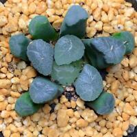 1-cut 4cm excavator Haworthia Succulent live Plant Echeveria Home Garden Flower