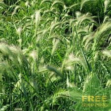 CANADA WILDRYE Elymus Canadensis - 25 SEEDS. FREE S&H