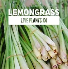 Ship Free✿ ROOTED LEMONGRASS Live Plants x4 Perennial Herb Container Suitable