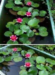 rote Seerose blühende Wasserpflanzen für den Teich Teichpflanzen Teichpflanze