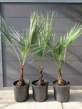 Felsen Palme Pflanze 40-60cm Brahea dulcis
