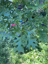 3' Shumard Red Oak Tree Live Home Landscape Plants Garden Hard Wood Shade Trees
