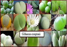 Gibbaeum Comptonii Exotic Cactus Ice Plants Living Stone Succulents 20 seeds