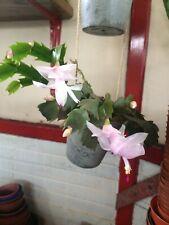 Schlumbergera Truncata Christmas Cactus Light Pink Fresh 3leaf Cutting