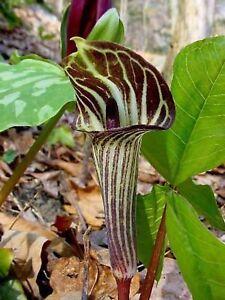 10Jack In The Pulpit Bulbs Plant Organic Arisaema Triphyllum Indian Turnip Plant