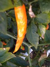 35 Organic Bulgarian Orange Carrot  Pepper seeds HOT! heirloom NightShade Farm