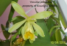 Vanilla pompona Orchid plant vine rope Bean Pod 24� Fresh Cutting Spice Extract