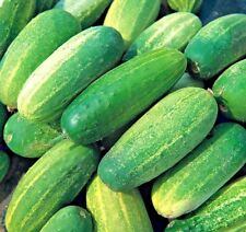 Vegetable Gherkin National 25 seeds Pickling Gherkin Cucumber