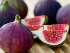"""Fig Tree """"Violette de Bordeaux"""" Price Includes Four (4) Plants"""